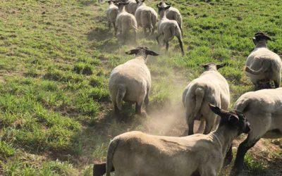 Betessläpp av fåren