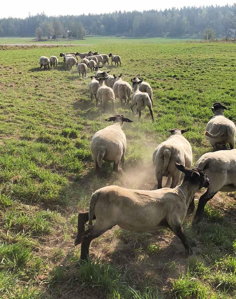 Betessläpp av fåren på Godegården