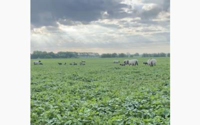 Årets lamningssäsong i vitklöverfrövall
